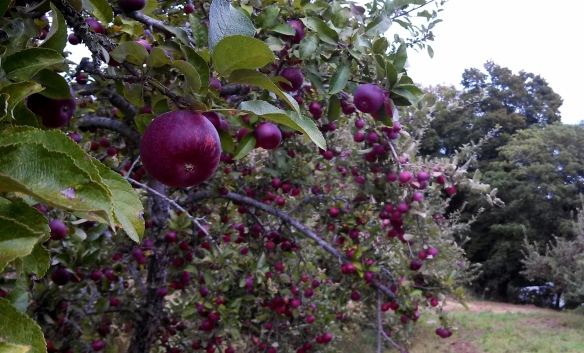 Organic Empire apples, in the orchard